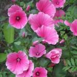 Лаватера - уход и выращивание