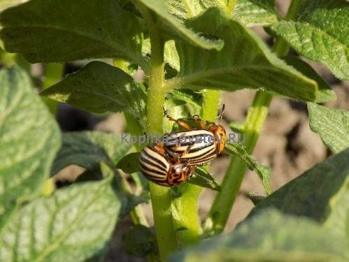Средства и препараты против колорадского жука